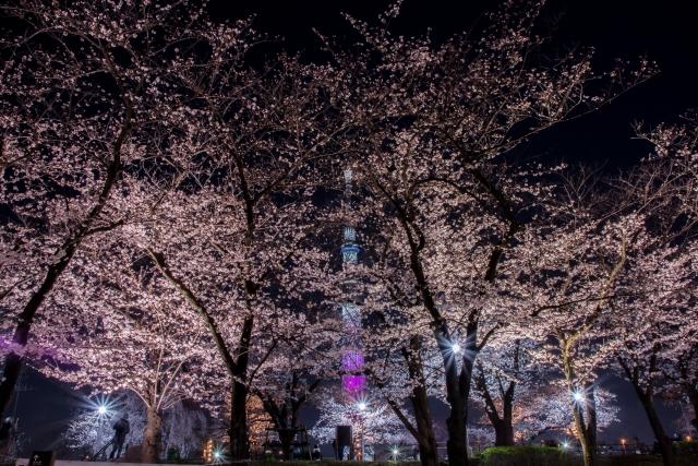 隅田公園の夜桜とスカイツリー